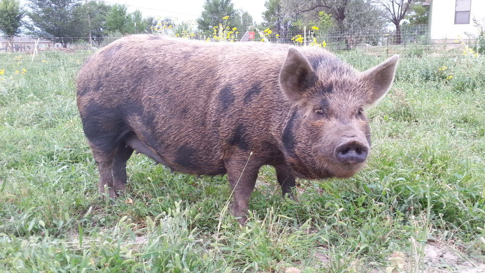 Pasture raised Kunekune pork