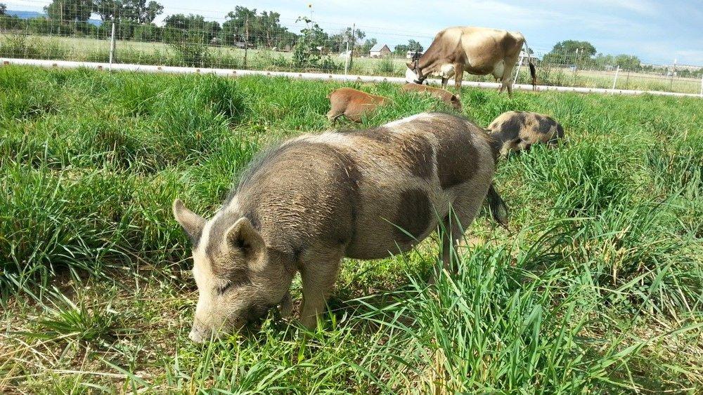 """Kunekune - """"The Grazing Pig"""""""