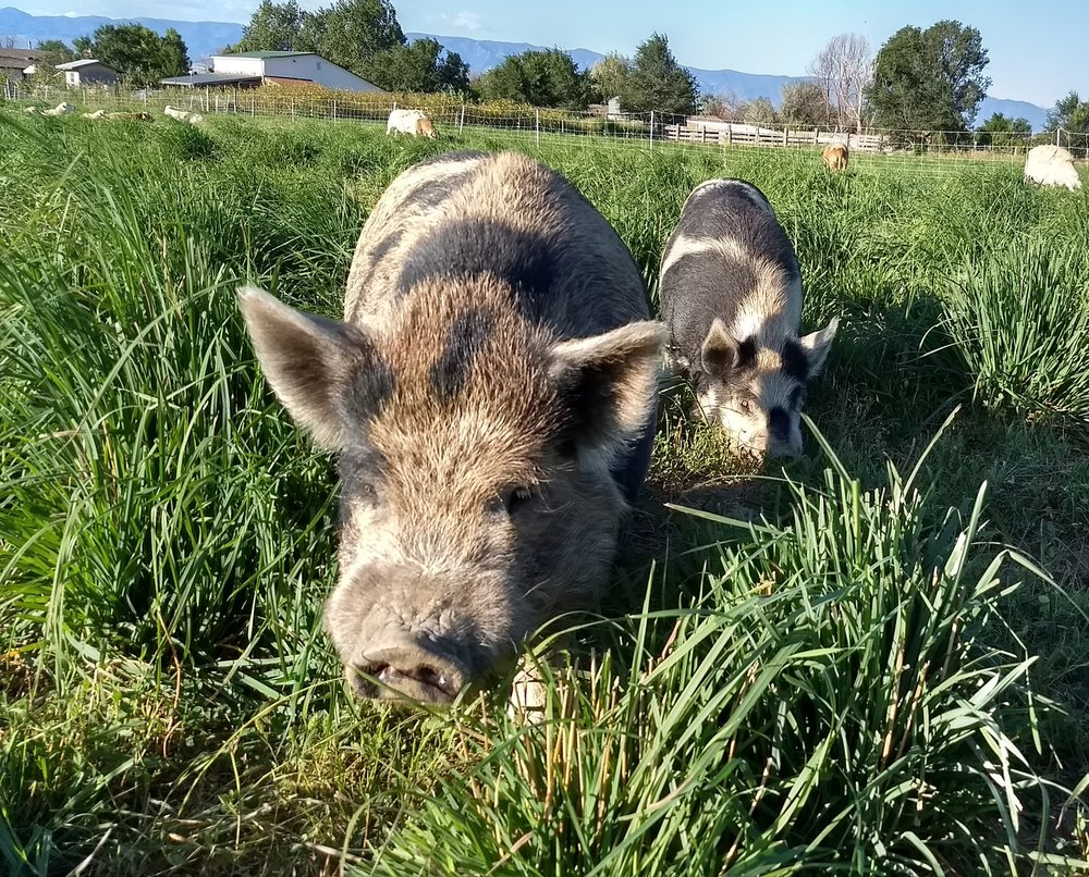 Pigs in the pasture.