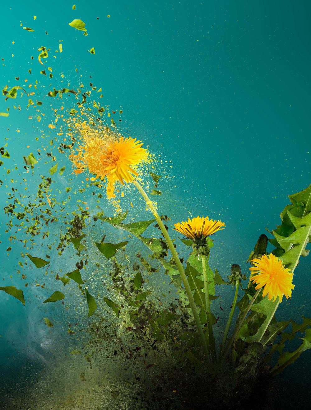 print-dandelion.jpg