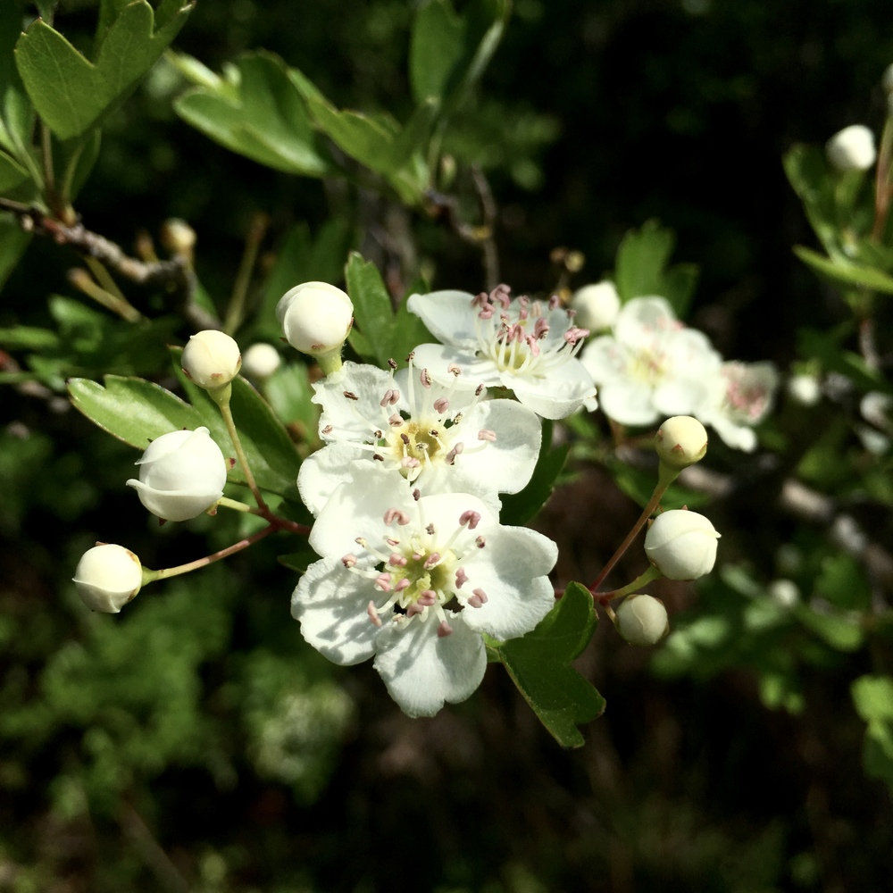 Hawthorn Wildness Within