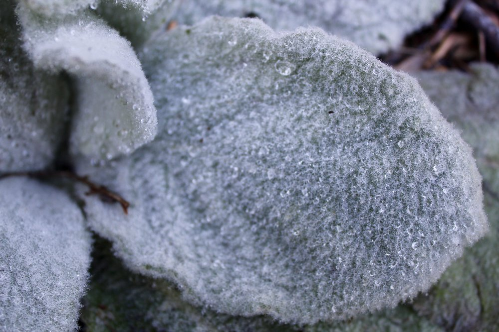If you look closely, you can see the stellate (star-like) hairs that cover the leaves of Mullein.