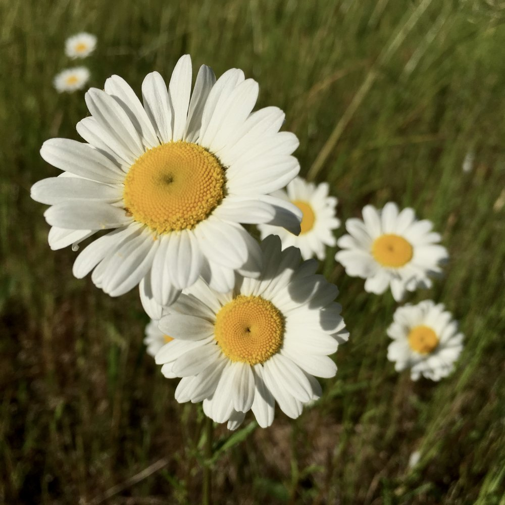 Oxeye daisy wildness within harvest plants in summer dry harvested material mix together and use as tea when sick or at the onset of a coldflu izmirmasajfo