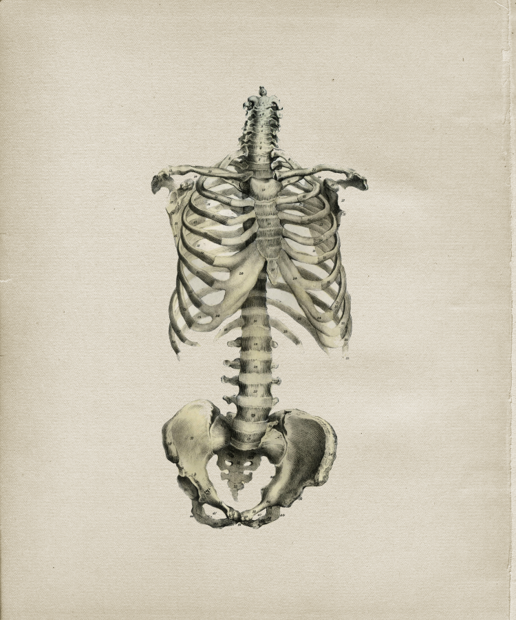 ribcage and pelvis.png