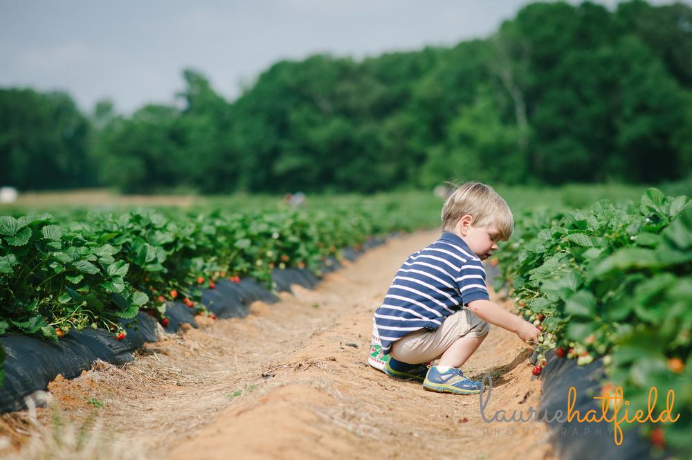 little boy picking strawberries | Huntsville photographer