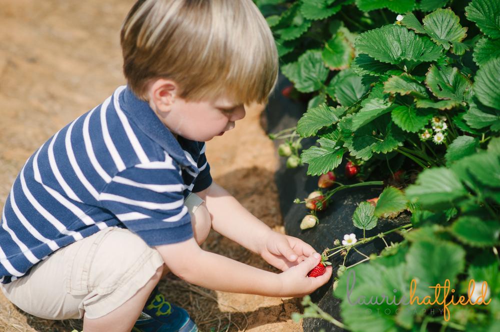 boy picking strawberries | Huntsville family photographer