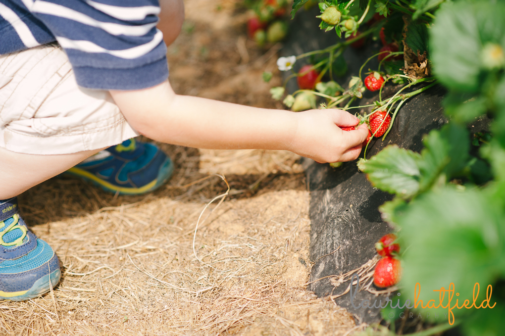 boy picking strawberries | Huntsville photographer