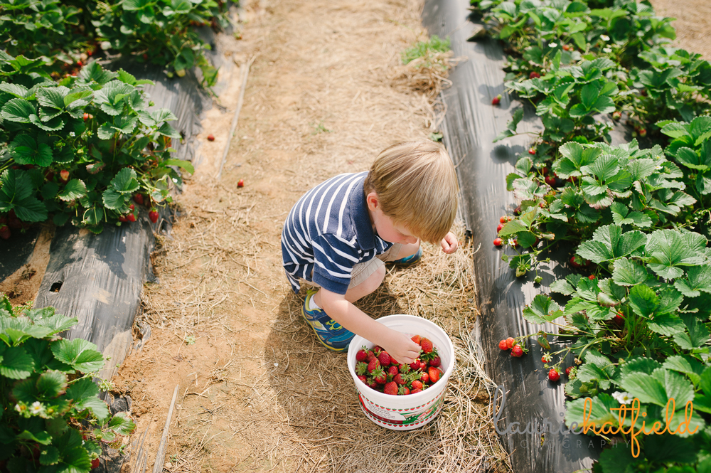 2-year-old putting strawberries in bucket | Huntsville photographer