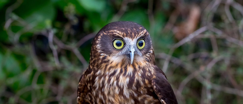 morepork-closeup-hero.jpg