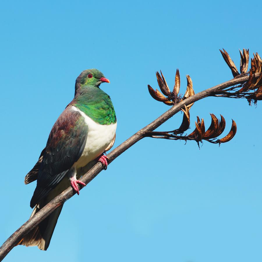 NZ-Kereru-Wood-Pigeon-product-1_900x.jpg