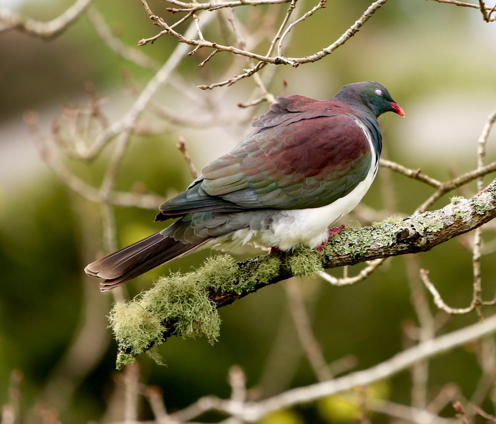 wood-pigeon-on-branch.jpg