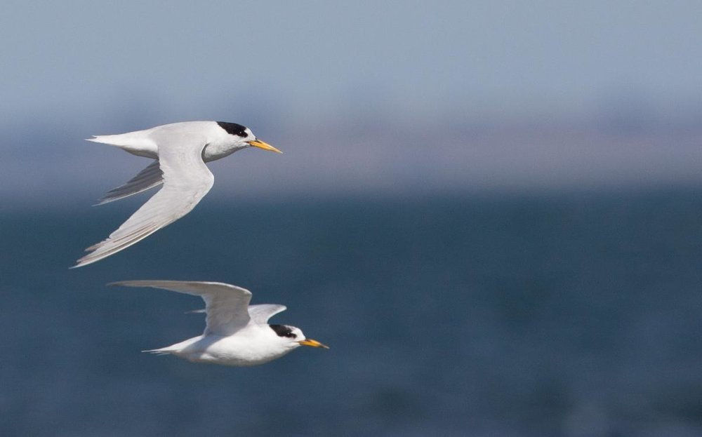 1200445Fairy tern flight-4739.jpg