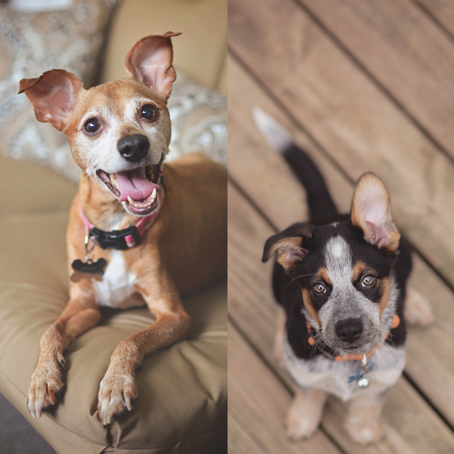 The fur-children: Penny (a sassy Miniature Pinscher) and Jinx (a rambunctious Blue Texas Heeler).