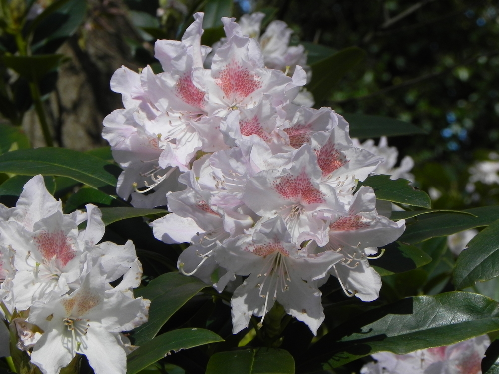 Rhododendron white.JPG