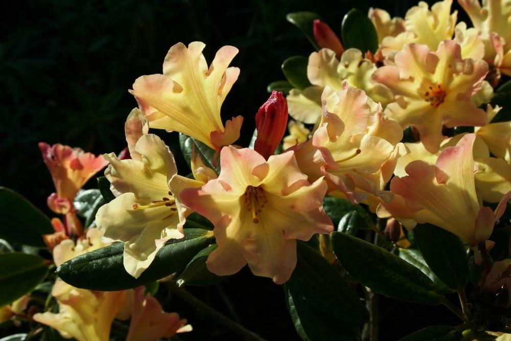 Rhododendron 'Nancy Evans'.JPG