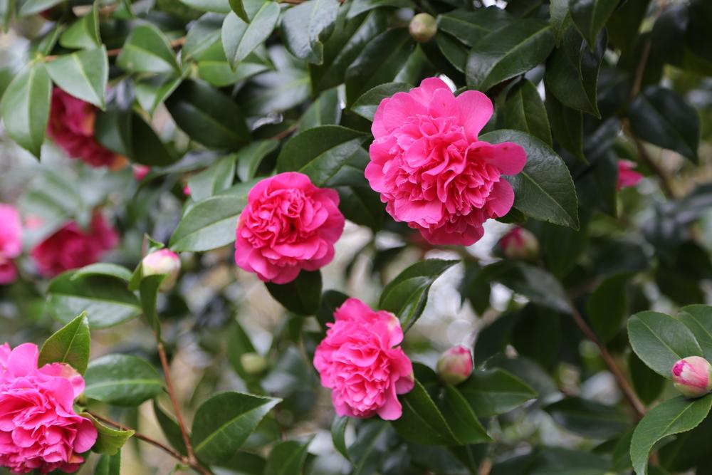 Opulent camellia .JPG
