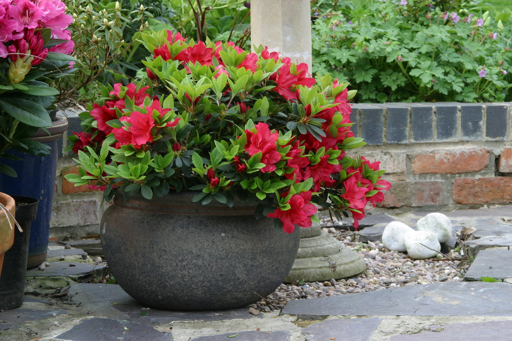 A beautiful large textured container planted with an elegant evergreen Azalea.