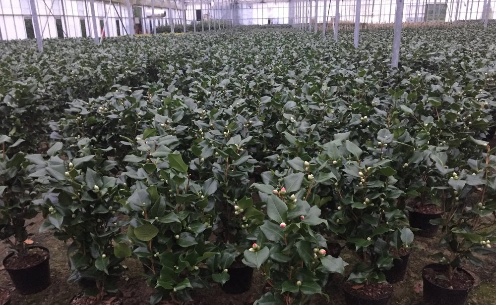 15,000 Camellias ready to sell this spring
