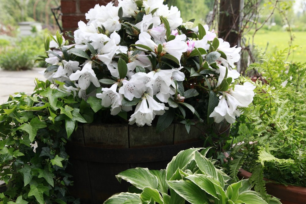 Tinkerbird is a superb new variety, the only scented dwarf rhododendron and perfect in a pot!