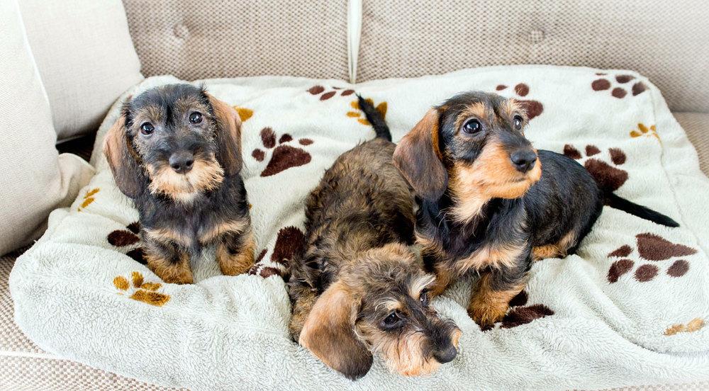 Cuccioli di bassotto nano