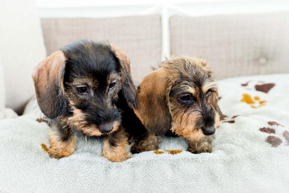 cuccioli-di-bassotto-slide05.jpg