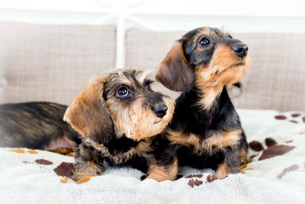 cuccioli-di-bassotto-slide06.jpg