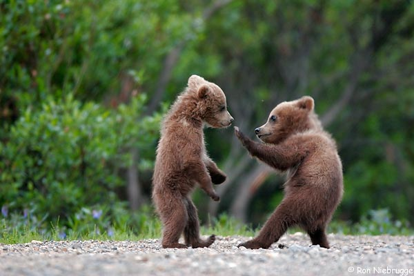 Cubs - but when do they become bears?