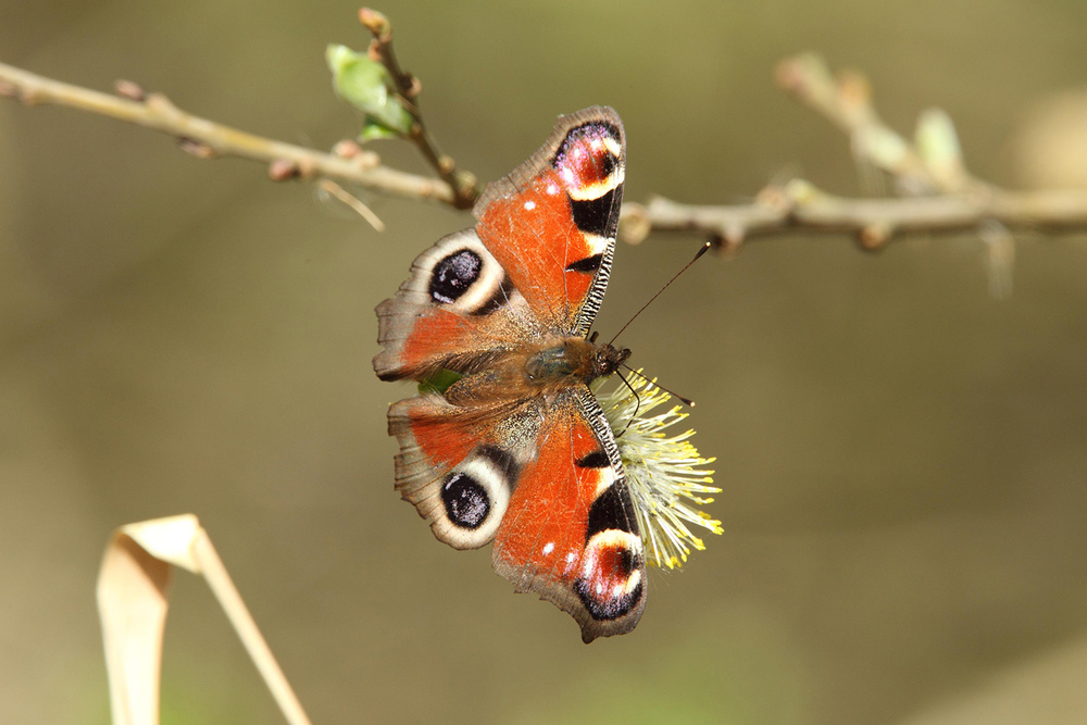 Peacock Eye Butterfly