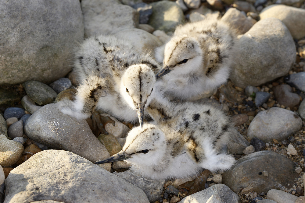 Avocet chicks