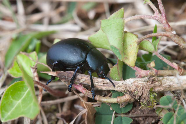 Bloody-Nose Beetle