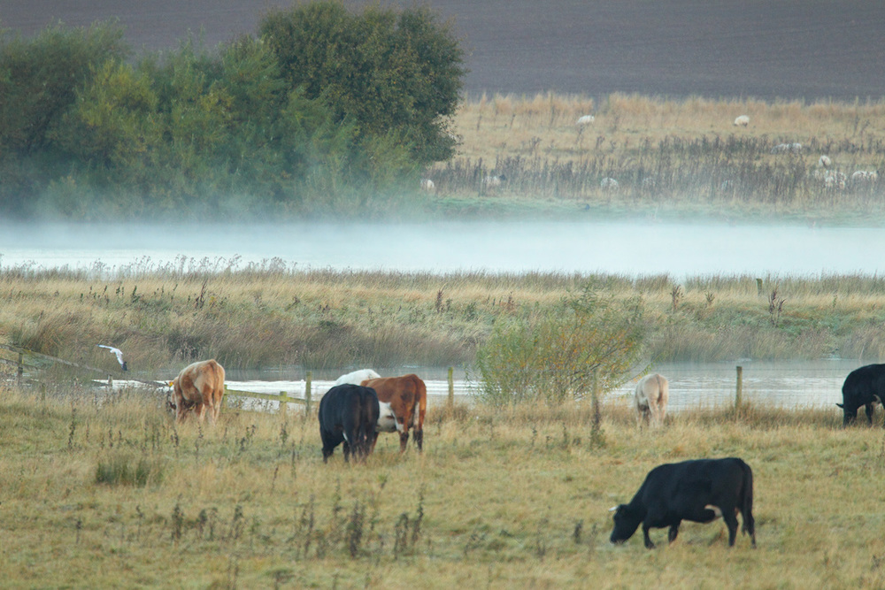 Cattle at Nosterfield Nature Reserve