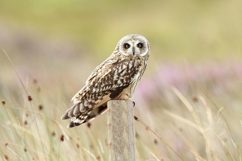 Short-eared owl-WBPA_32110.JPG