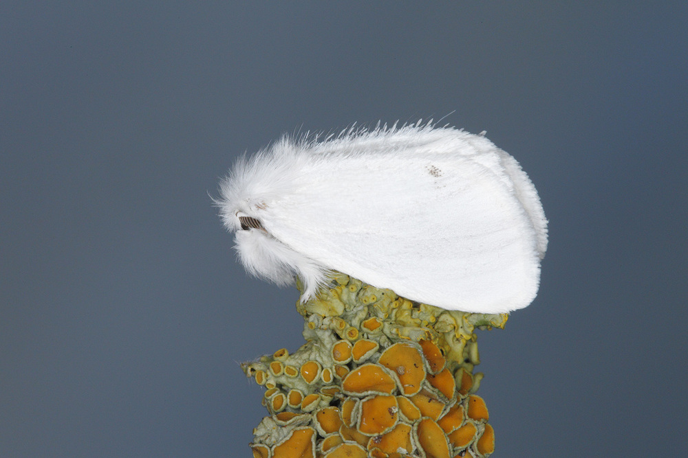Yellowtail Moth