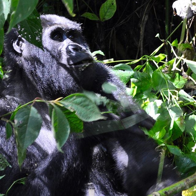 Back home and reflecting on a truly remarkable few days in Uganda, including up close encounters with gorillas, African fish eagles in flight, baby hippos and thirsty elephants. Now to work out how the hell to write it all up #uganda #africa #wildlife #gorillas #birds #elephants #masonrosegoes
