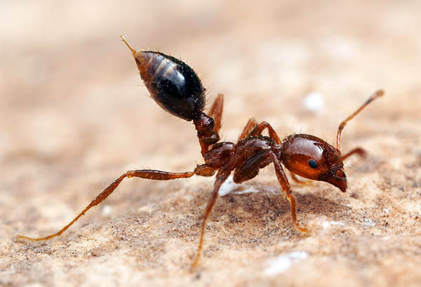 Imported Red Fire Ant