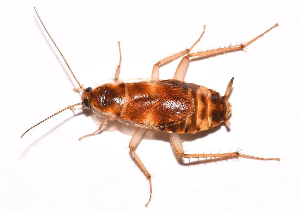 Brownbanded cockroach.jpg