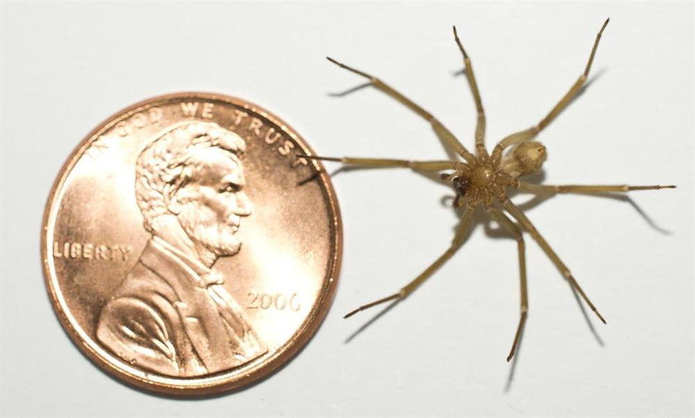 Brown recluse HL ventral scale.jpg