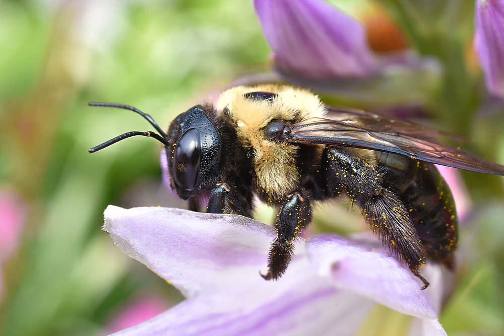 Carpenter bee side view.jpg