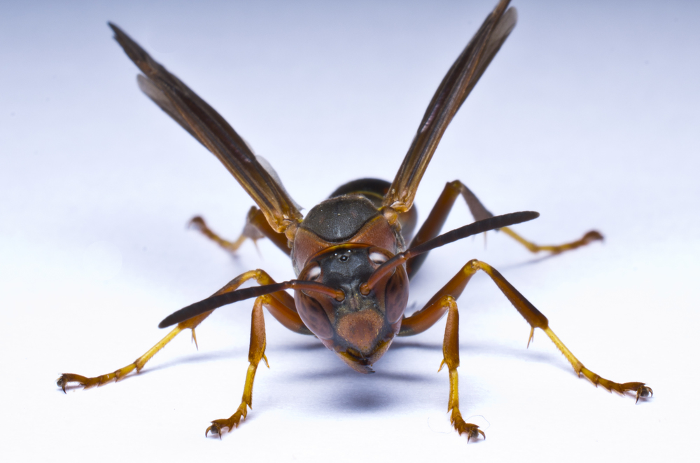 Paper wasp front view no text.jpg