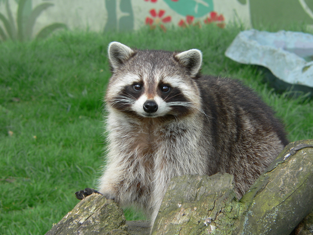 Raccoon_Cute_Pose.jpg