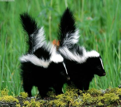 Skunk%20Babies[1].jpg