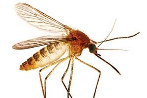 Mosquito .jpg