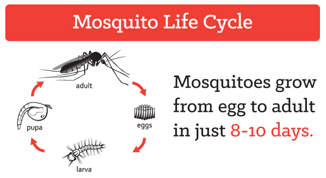 mosquito-life-cycle.jpg