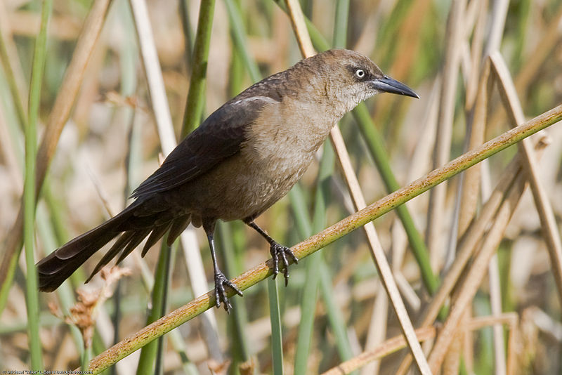 Great-tailed_Grackle_-_female.jpg