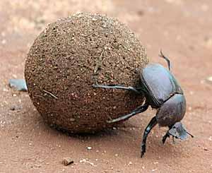 Texas dung beetle.jpg
