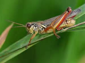 Red Legged Grasshopper.jpg