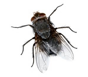 Common House Fly.jpg