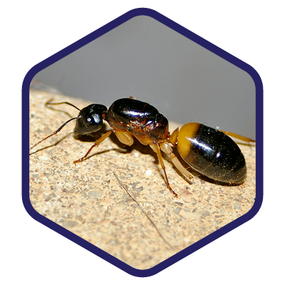 Ants_Sugar-Ants.png
