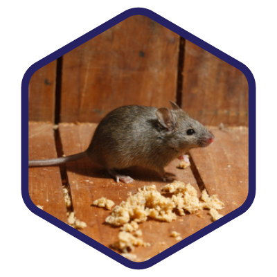 Rodents_Mouse.png