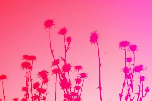 Desert flowers + Pink ombre